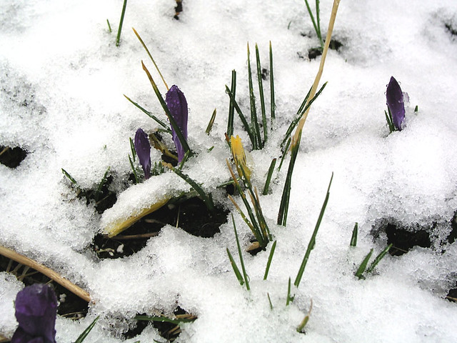 there snow croaking crocuses
