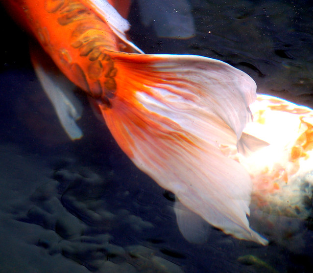 Koi tail flickr photo sharing for Koi fish tail