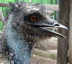 emu, animal, ostrich, flightless bird, fauna, close-up, casuariiformes, beak, bird, ratite,