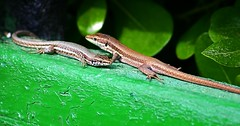 animal, amphibian, reptile, lizard, green, fauna, lacertidae, scaled reptile, wildlife,