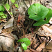 Canadian wild ginger - Photo (c) Janet, some rights reserved (CC BY-NC-SA)