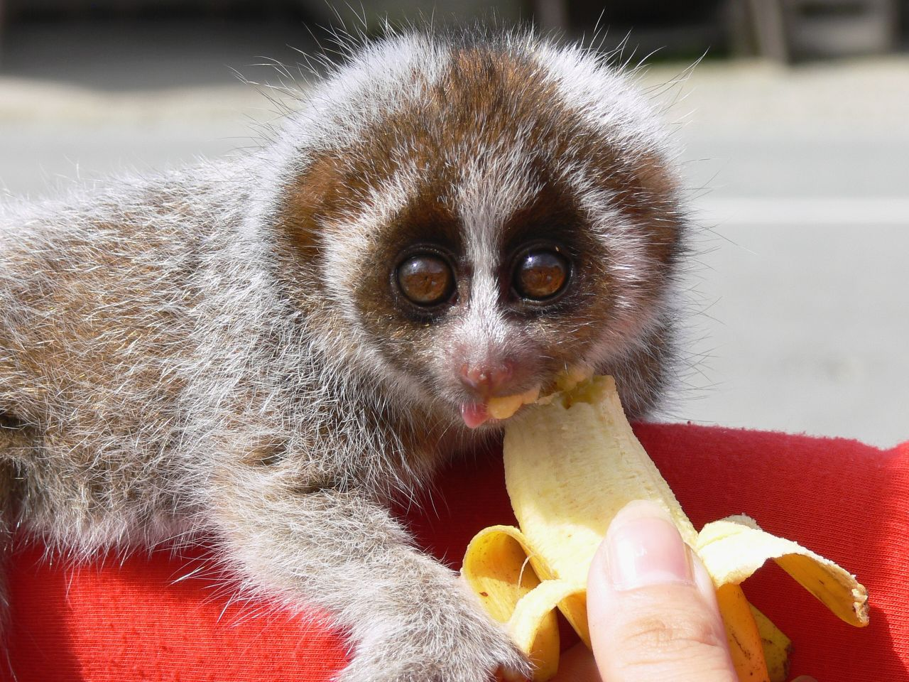 Slow Loris, Borneo - Really a nocturnal animal - a photo ...
