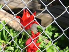 Backyard Garden: red tulips