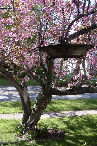pink flowers ny victorian cherrytree holley bennorthern
