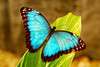 Morpho Butterflies - Photo (c) Maja & Marko, some rights reserved (CC BY-NC-ND)
