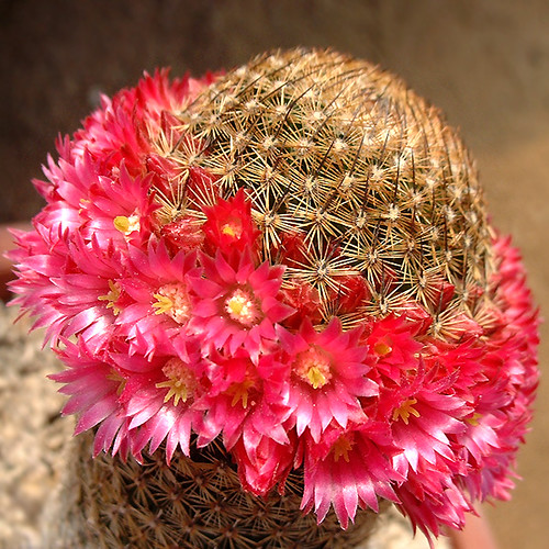 Cactus Flowers (Chile)