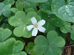 annual plant, shrub, flower, clover, leaf, plant, wildflower, flora, green, petal,