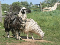 emu(0.0), ostrich(0.0), flightless bird(0.0), bird(0.0), ratite(0.0), animal(1.0), llama(1.0), fauna(1.0),