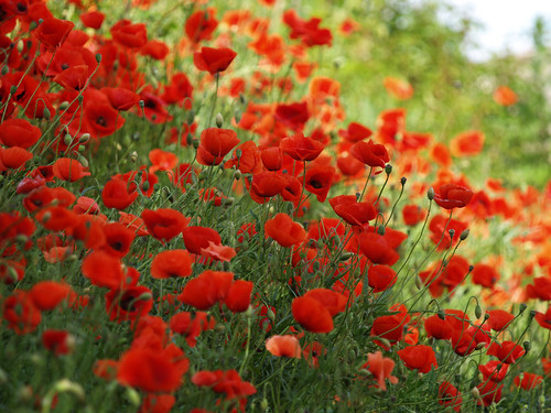 Makowisko - Poppy flowers