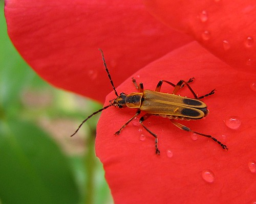 beetle on red