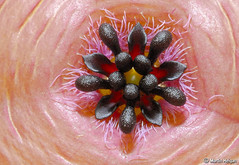 Stapelia clavicorona flower macro