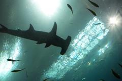 deep sea fish(0.0), manta ray(0.0), reef(0.0), requiem shark(0.0), animal(1.0), fish(1.0), shark(1.0), marine biology(1.0), underwater(1.0),