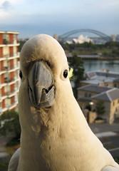 cockatoo, animal, parrot, sulphur crested cockatoo, fauna, beak, bird,