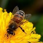 Honeybee on Dandelion 2