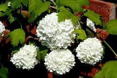 hydrangea serrata(0.0), hydrangea(1.0), annual plant(1.0), shrub(1.0), flower(1.0), leaf(1.0), guelder rose(1.0), plant(1.0), flora(1.0),