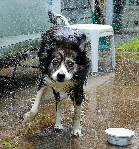 dog newyork cute wet topf25 water wow geotagged fun eyes topf50 nikon funny action upstateny noflash smokey shake 1755mmf28g d200 topf100 decisivemoment saranaclake stoppingtime cmcjuly06 geolat44326151 geolon74140935