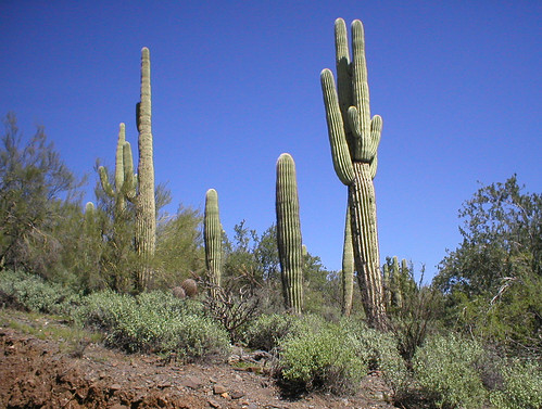 Awesome Cactus in Carefree AZ