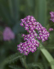english lavender(0.0), lavender(0.0), macro photography(0.0), wildflower(0.0), yarrow(1.0), annual plant(1.0), flower(1.0), plant(1.0), lilac(1.0), herb(1.0), flora(1.0),