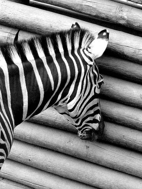 Cebra Voyerista / Voyeur Zebra