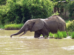 animal, indian elephant, elephant, elephants and mammoths, african elephant, fauna, wildlife,