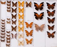 Lepidoptera Nymphalidae