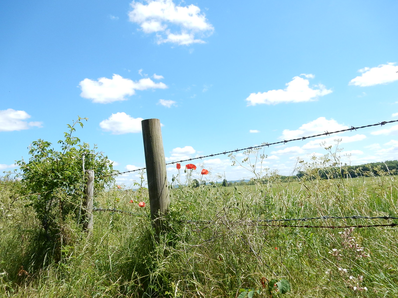 Fence with poppies Didcot Circular