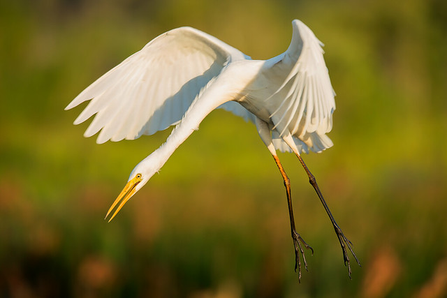 In to land - Egret at Fogg Dam