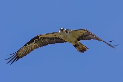 <p><i>Pandion haliaetus</i>, Pandionidae<br /> Iona Beach Regional Park, Richmond, British Columbia, Canada<br /> Nikon D5100, 70-300 mm f/4.5-5.6<br /> May 2, 2015</p>