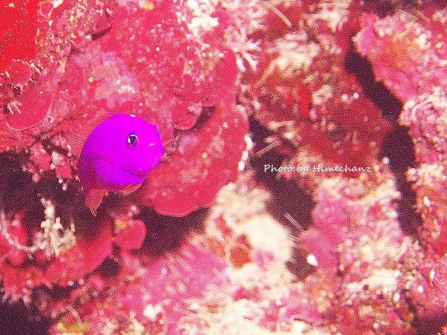 見た目はブルー。光を当てると赤紫!な、クレナイニセスズメ