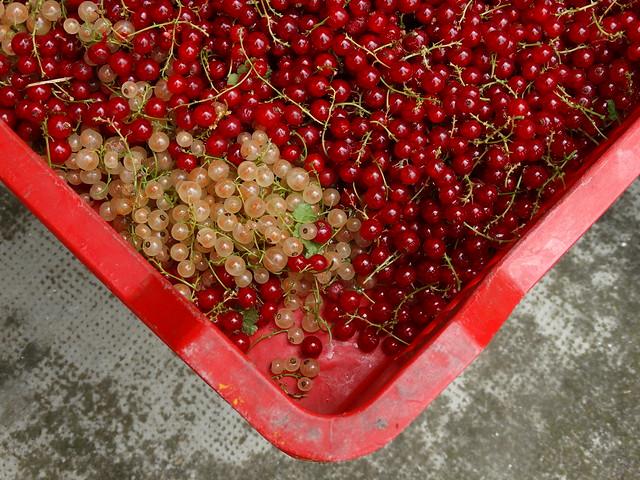 Piros és fehér ribizli 1