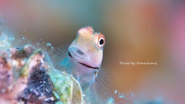 イシガキカエルウオのこの表情が好きw
