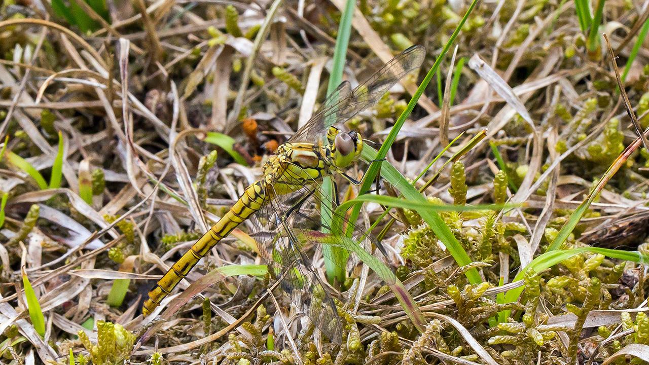 Steenrode heidelibel ♀