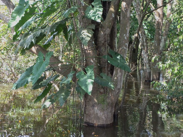 Igapó is the name given in the Brazilian Amazon to a flooded forest.