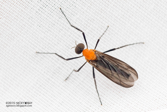 March fly (Bibionidae) - DSC_4721