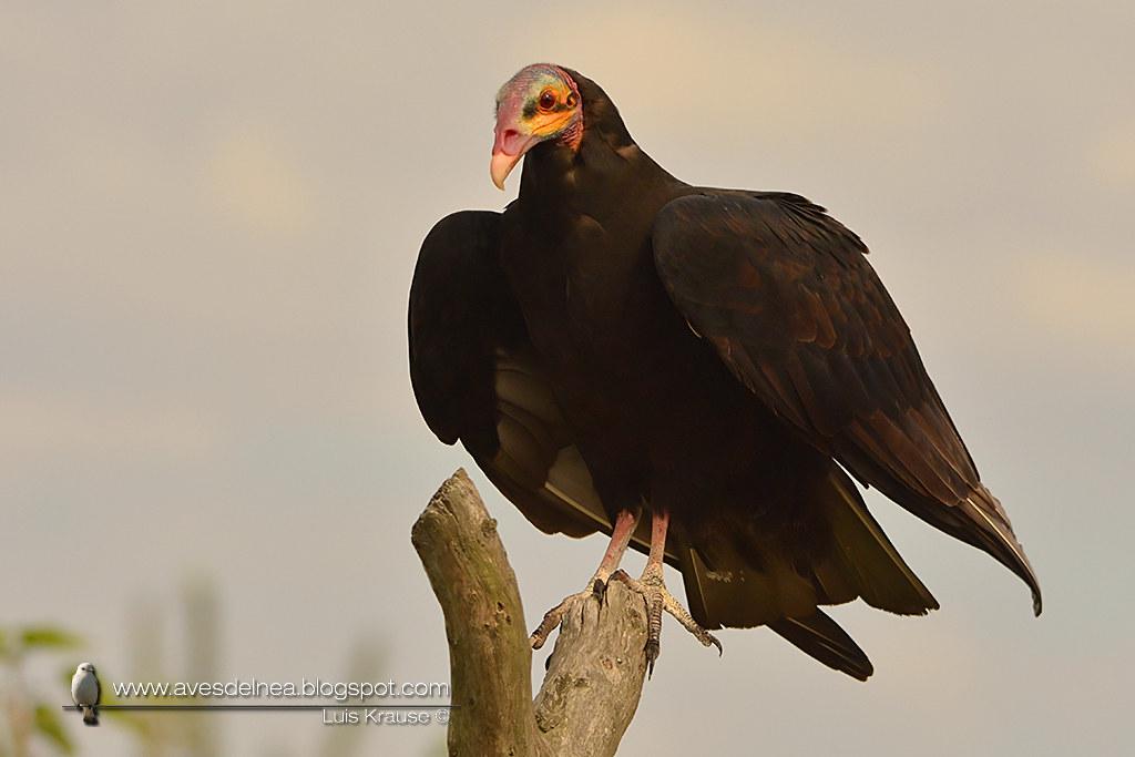 Jote cabeza amarilla (Lesser yellow-headed Vulture) Cathartes burrovianus