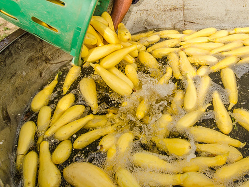 A farmworker rinsing just-picked yellow squash in a processing tub