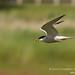 Common Tern (Sterna hirundo) by gcampbellphoto