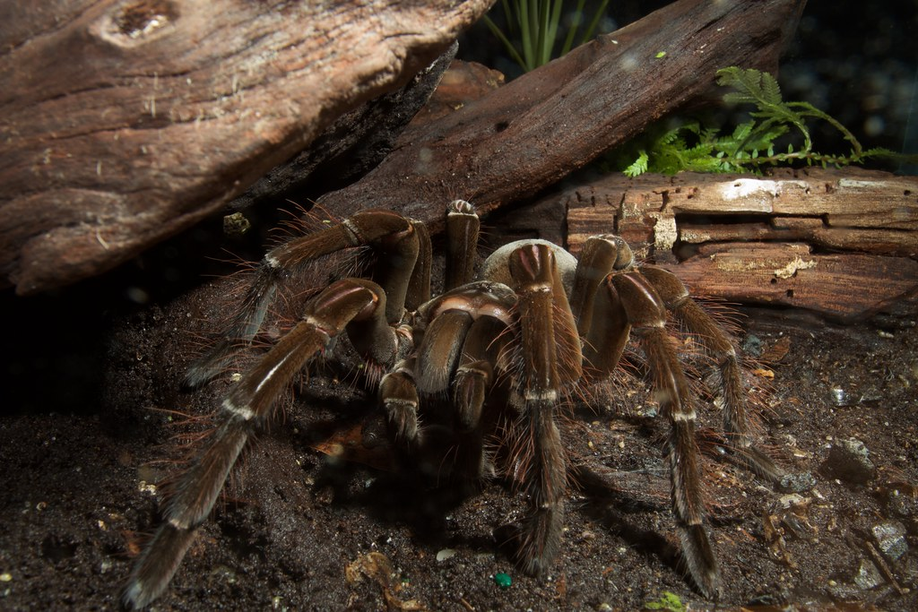Goliath bird-eating tarantula