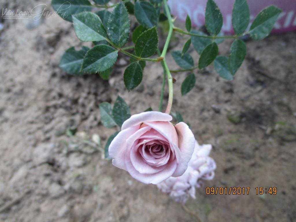 Lavender Crystal rose (3)-vuonhongvanloan.com