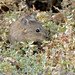 Small photo of Bush Vlei Rat (Myotomys unisulcatus)