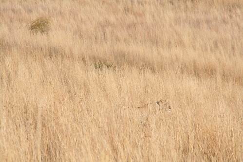 Can you find the lioness?
