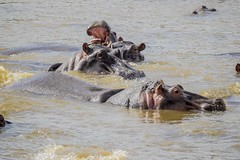 Hippopotamuses 01 / Masai Mara / Kenya
