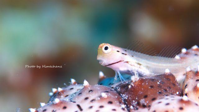 今日もいっぱいいたイシガキカエルウオ幼魚
