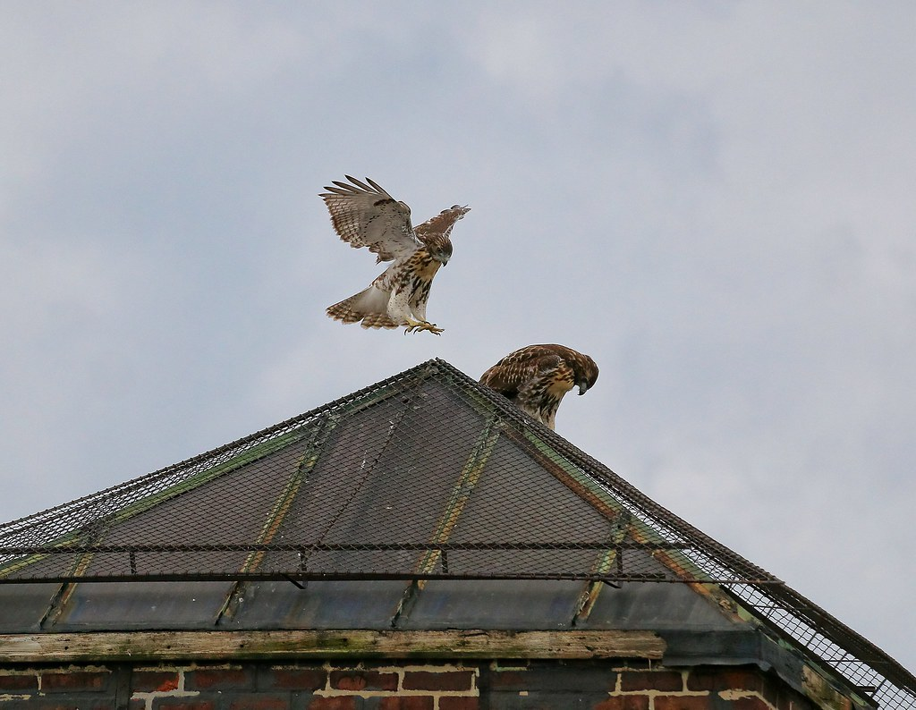 Fledglings #2 & #3 playing on a rooftop