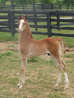 SA Tomcat x Party Shoes 2015 weanling - sold