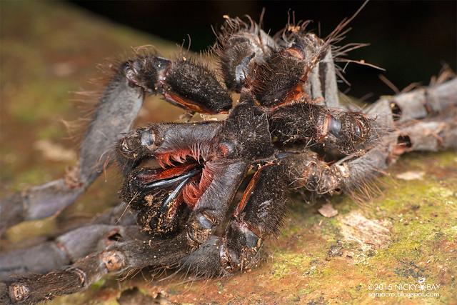 Tarantula exoskeleton (Theraphosidae) - DSC_4905