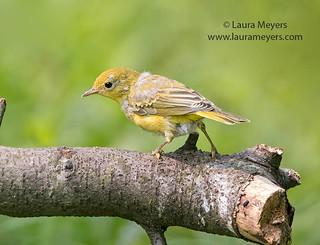 Yellow Warbler Immature