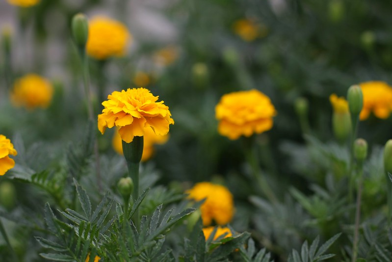 gypsy sunshine marigolds