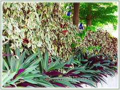 Landscaping with Excoecaria cochinchinensis 'Firestorm' (Chinese Croton Firestorm, Variegated Blindness Tree, Jungle Fire Plant), as seen in our neighbourhood - July 17 2015