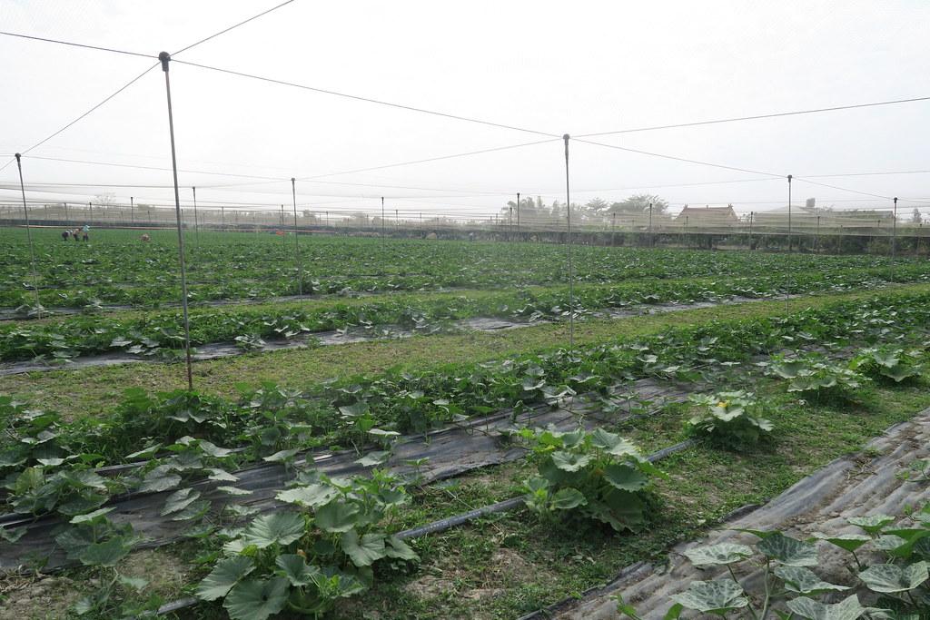 阿蓮三本草莓園 (17)